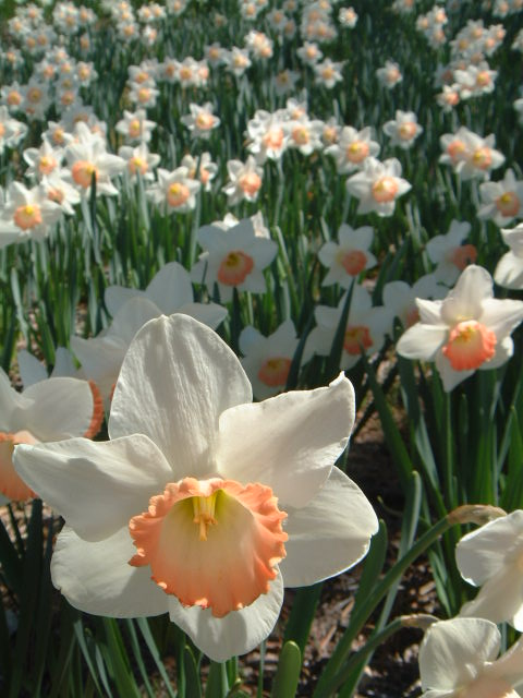 A Different Breed of Daffodils