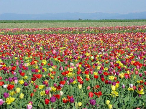 Holy Moment Photo Gallery - Tulips