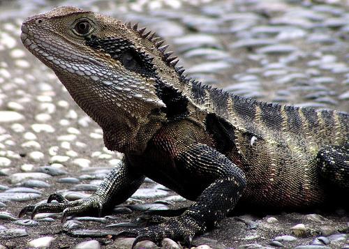 Lizard Byetta