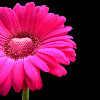 Pink on Black Flower | Fearless Fat Loss dot com