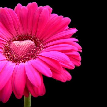 Pink on Black Flower | Fearless Fat Loss dot com