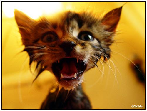 Angry Kitty at FearlessFatLoss.com