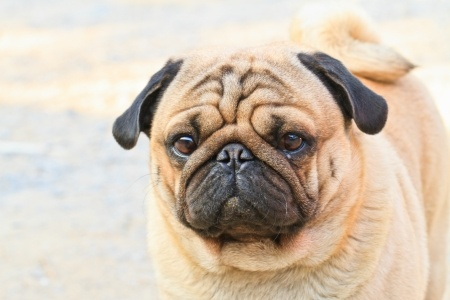 Sad face pug dog at FearlessFatLoss.com
